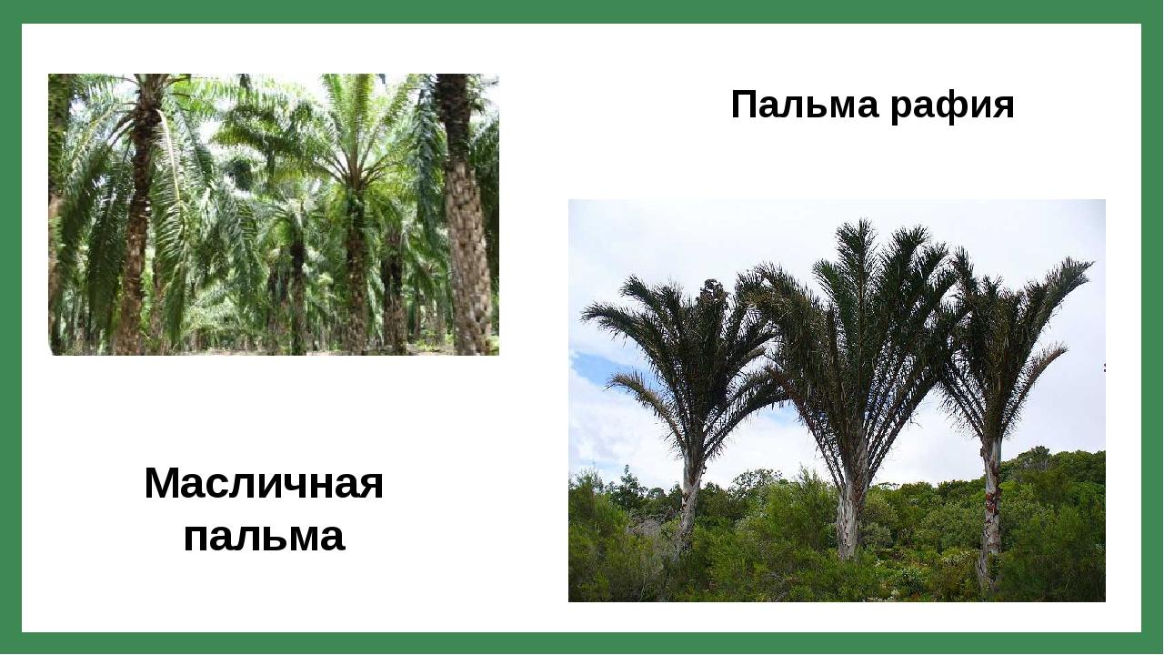 Масличная пальма Пальма рафия
