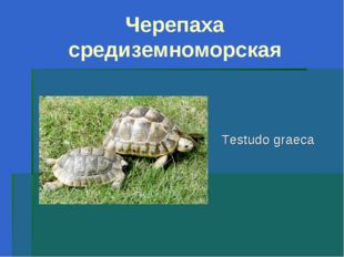 Черепаха средиземноморская Testudo graeca