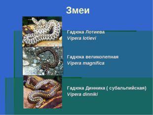 Змеи Гадюка Лотиева Vipera lotievi Гадюка великолепная Vipera magnifica Гадюк