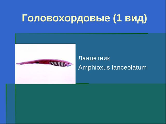 Головохордовые (1 вид) Ланцетник Amphioxus lanceolatum