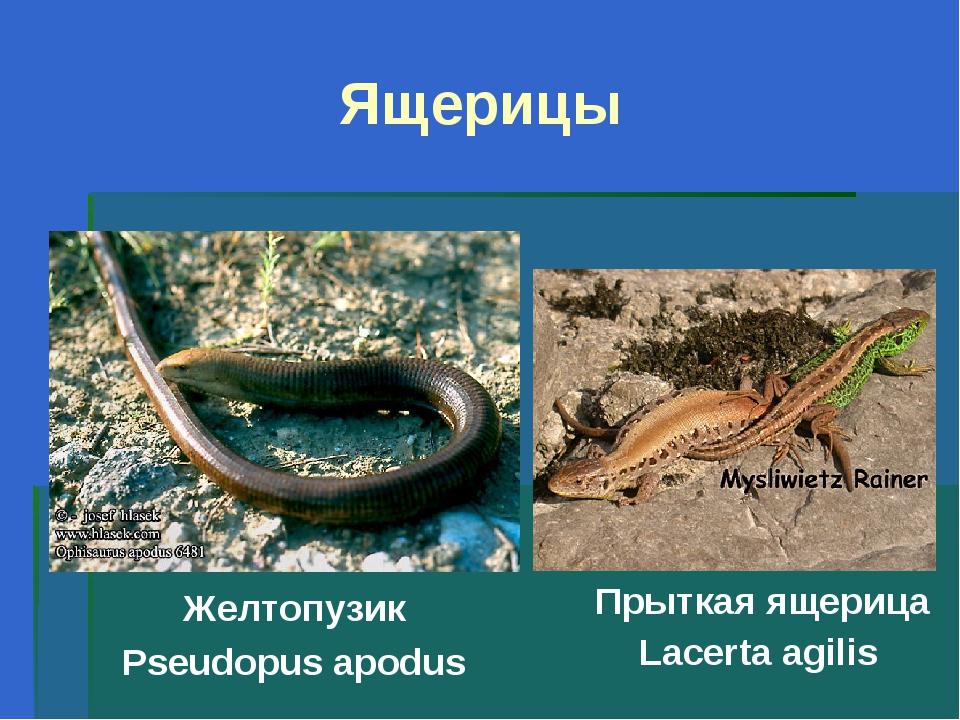 Ящерицы Желтопузик Pseudopus apodus Прыткая ящерица Lacerta agilis