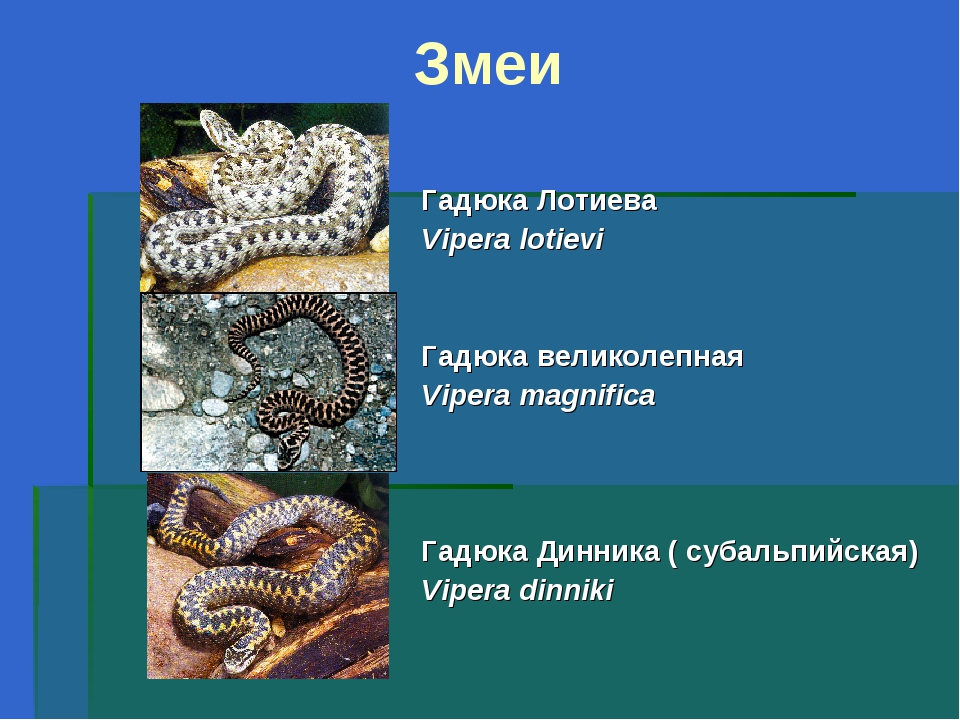 Змеи Гадюка Лотиева Vipera lotievi Гадюка великолепная Vipera magnifica Гадюк...