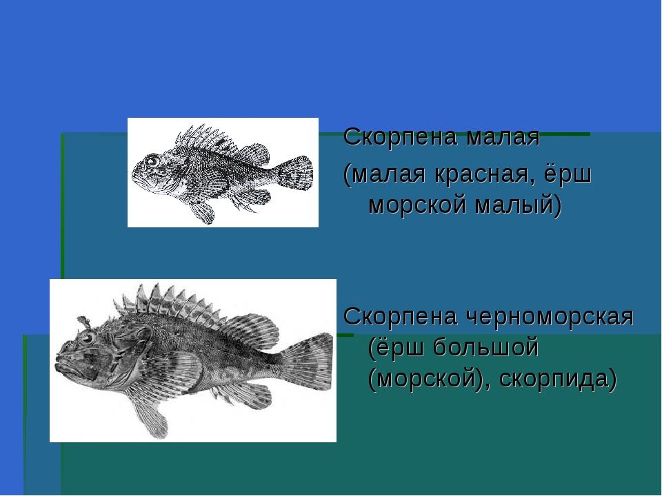 Скорпена малая (малая красная, ёрш морской малый) Скорпена черноморская (ёрш...