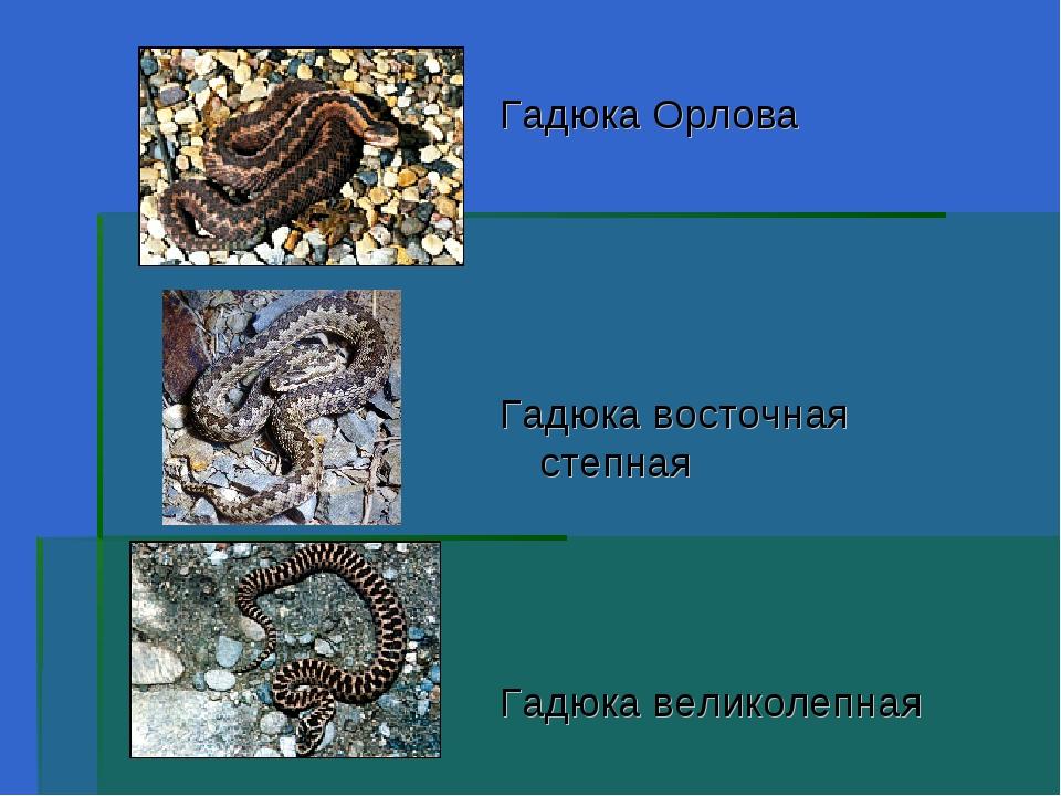Гадюка Орлова Гадюка восточная степная Гадюка великолепная