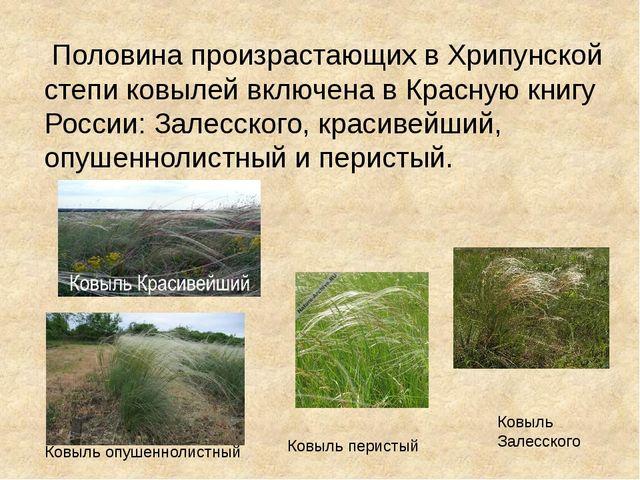 Половина произрастающих в Хрипунской степи ковылей включена в Красную книгу...