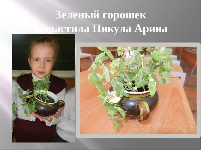 Зеленый горошек вырастила Пикула Арина