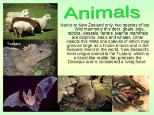 Native to New Zealand only two species of bat . Wild mammals this deer, goats