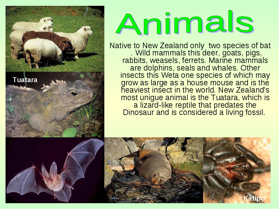 Native to New Zealand only two species of bat . Wild mammals this deer, goats...