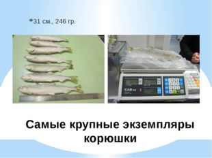 31 см., 246 гр. Самые крупные экземпляры корюшки