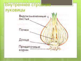 Внутреннее строение луковицы