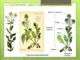 Строение цветкового растения Сурепка обыкновенная