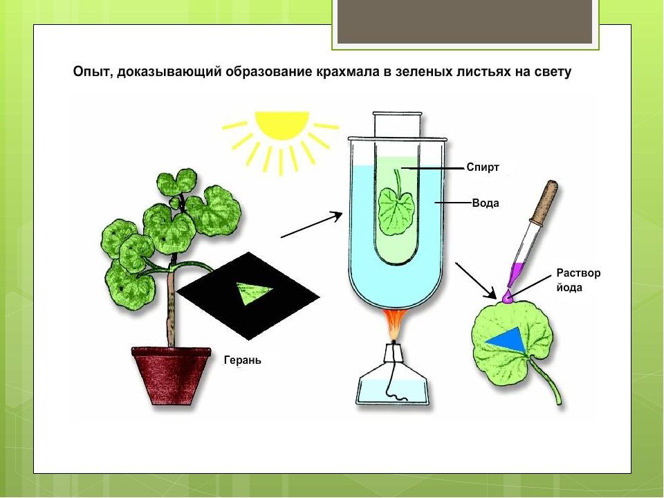 Практикум по биологии осмос