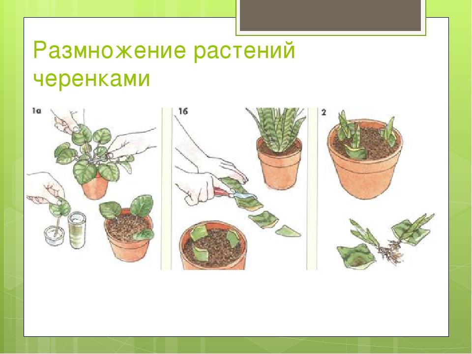 Размножение растений черенками