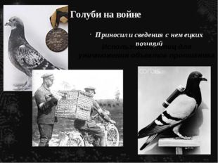 Голуби на войне Приносили сведения с немецких позиций Использовали птиц для у