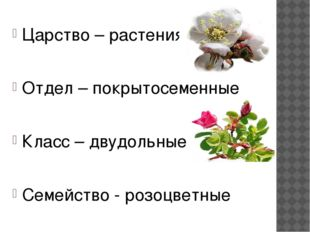 Царство – растения Отдел – покрытосеменные Класс – двудольные Семейство - ро