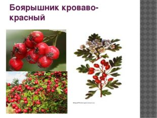 Боярышник кроваво-красный