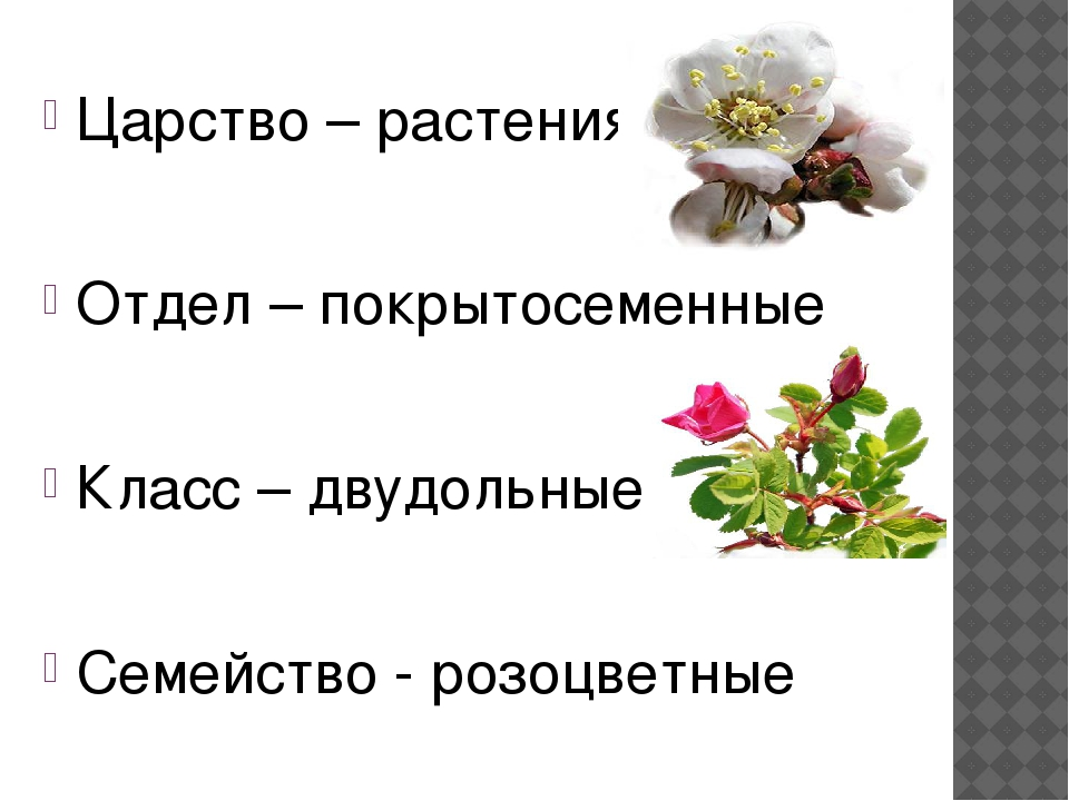 Царство – растения Отдел – покрытосеменные Класс – двудольные Семейство - ро...