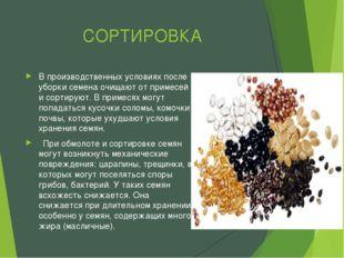 СОРТИРОВКА В производственных условиях после уборки семена очищают от примесе