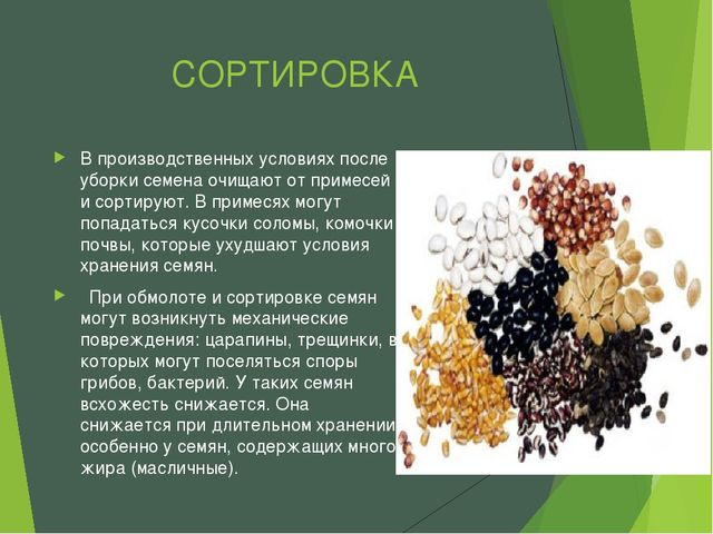 СОРТИРОВКА В производственных условиях после уборки семена очищают от примесе...