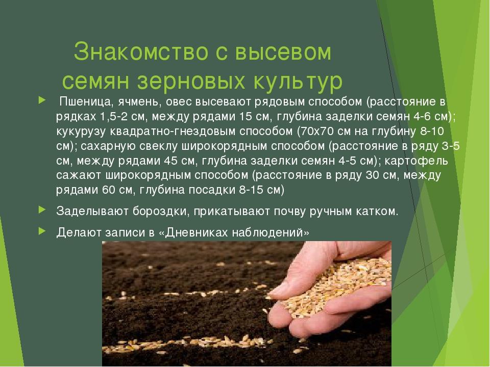 Знакомство с высевом семян зерновых культур Пшеница, ячмень, овес высевают ря...