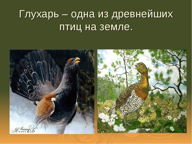 Глухарь – одна из древнейших птиц на земле.