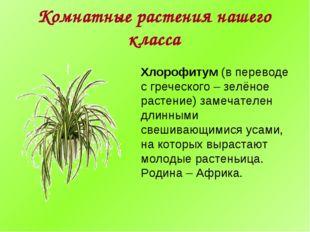 Комнатные растения нашего класса Хлорофитум (в переводе с греческого – зелёно