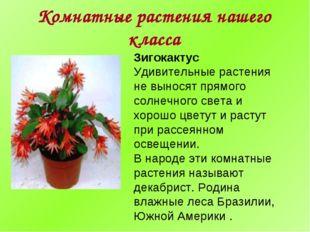 Комнатные растения нашего класса Зигокактус Удивительные растения не выносят