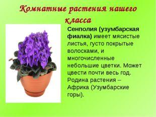 Комнатные растения нашего класса Сенполия (узумбарская фиалка) имеет мясистые