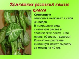 Комнатные растения нашего класса Сингониум относится включает в себя 35 видов