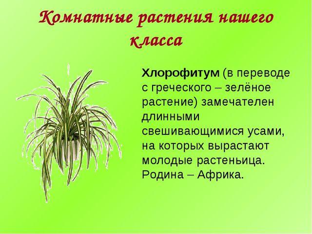 Комнатные растения нашего класса Хлорофитум (в переводе с греческого – зелёно...