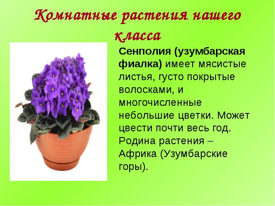 Комнатные растения нашего класса Сенполия (узумбарская фиалка) имеет мясистые...