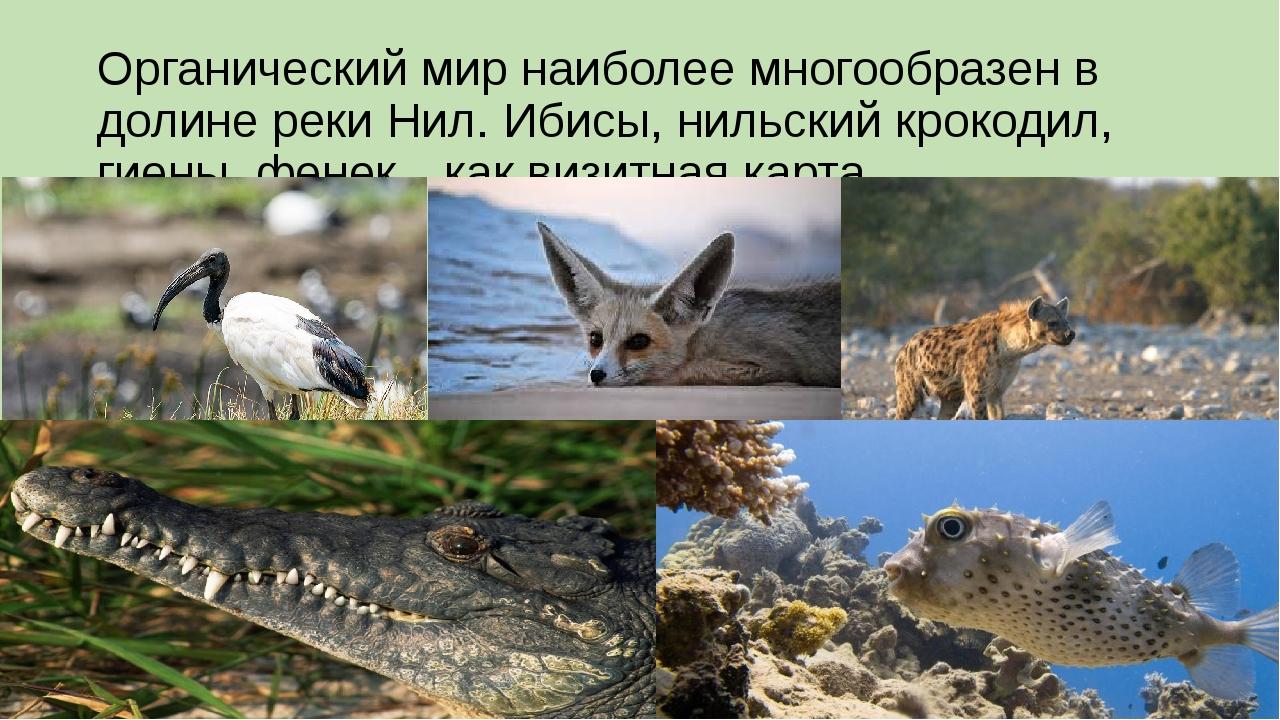 Органический мир наиболее многообразен в долине реки Нил. Ибисы, нильский кро...
