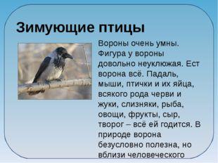 Вороны очень умны. Фигура у вороны довольно неуклюжая. Ест ворона всё. Падал