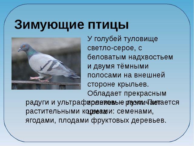 У голубей туловище светло-серое, с беловатым надхвостьем и двумя тёмными пол...