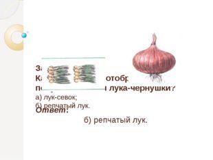 Задание 3 Какой лук нужно отобрать для получения семян лука-чернушки? а) лук
