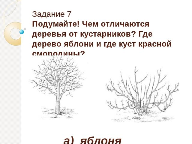 Задание 7 Подумайте! Чем отличаются деревья от кустарников? Где дерево яблони...