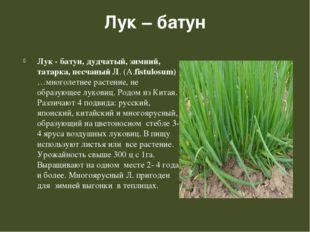 Лук – батун Лук - батун, дудчатый, зимний, татарка, песчаный Л. (А.fistulosum
