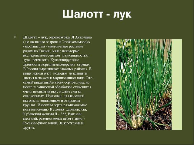 Шалотт - лук Шалотт – лук, сорокозубка. Л.Асколана ( по названию острова в Эг...