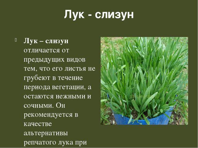 Лук - слизун Лук – слизун отличается от предыдущих видов тем, что его листья...