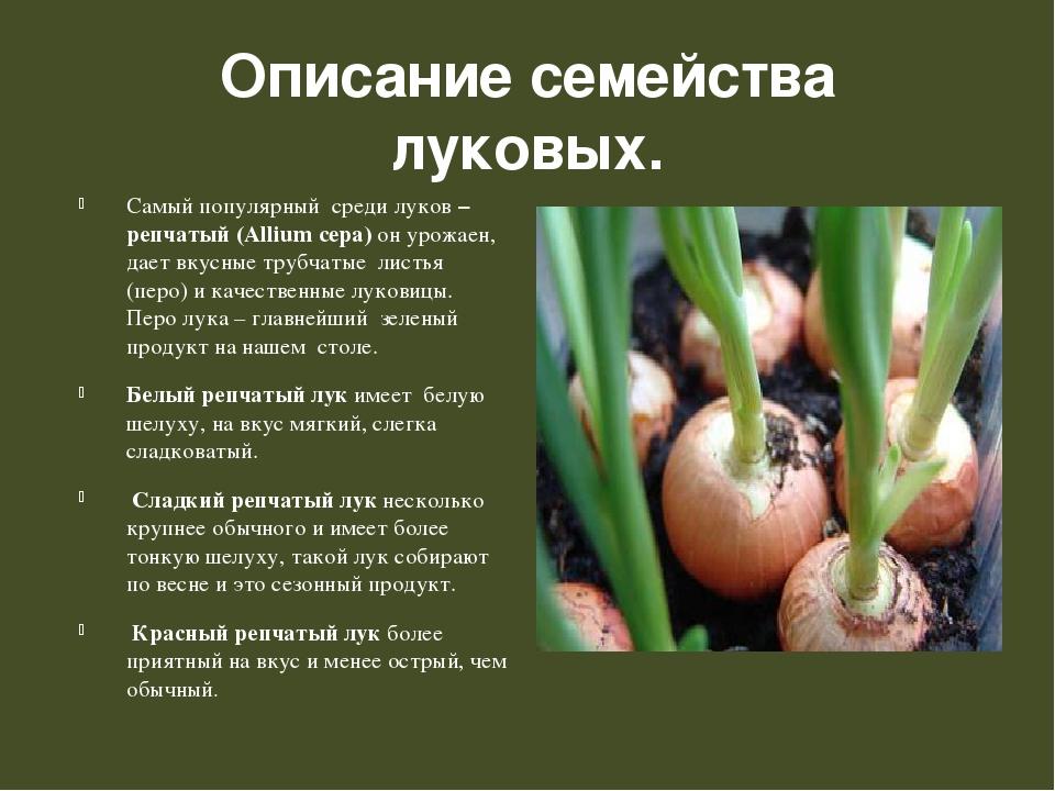 Описание семейства луковых. Самый популярный среди луков – репчатый (Аllium...