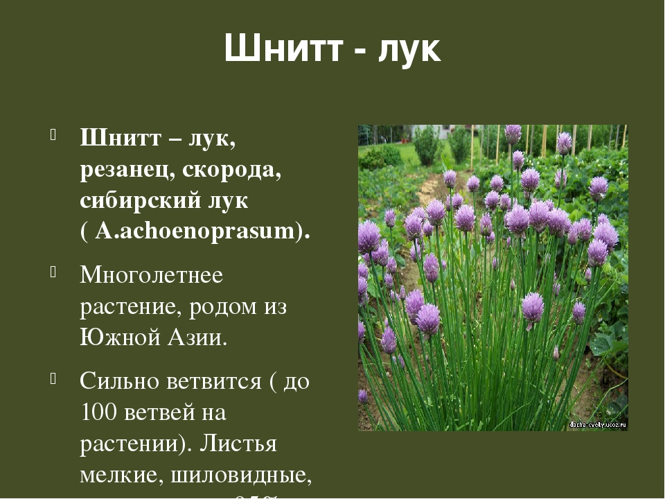Шнитт - лук Шнитт – лук, резанец, скорода, сибирский лук ( А.achoenoprasum)....