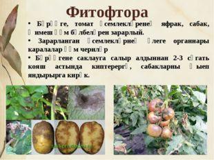 * Фитофтора Бәрәңге, томат үсемлекләренең яфрак, сабак, җимеш һәм бүлбеләрен
