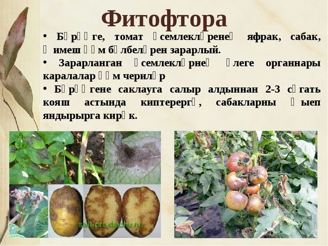 * Фитофтора Бәрәңге, томат үсемлекләренең яфрак, сабак, җимеш һәм бүлбеләрен...