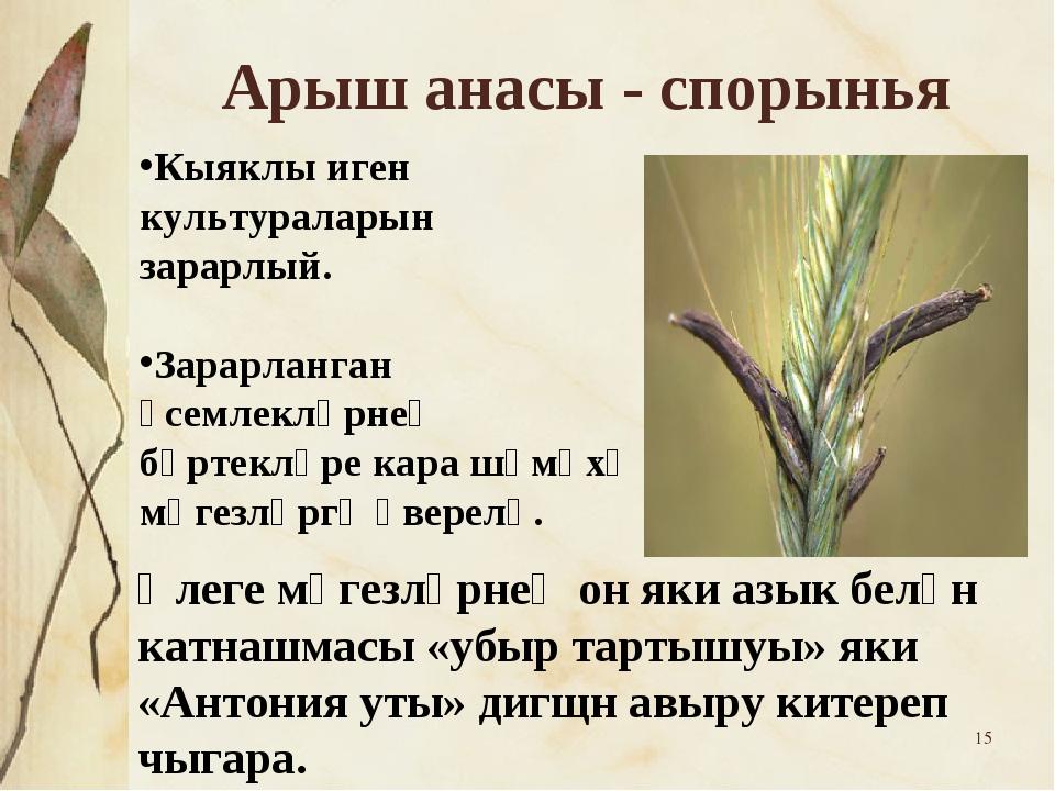 * Арыш анасы - спорынья Кыяклы иген культураларын зарарлый. Зарарланган үсемл...
