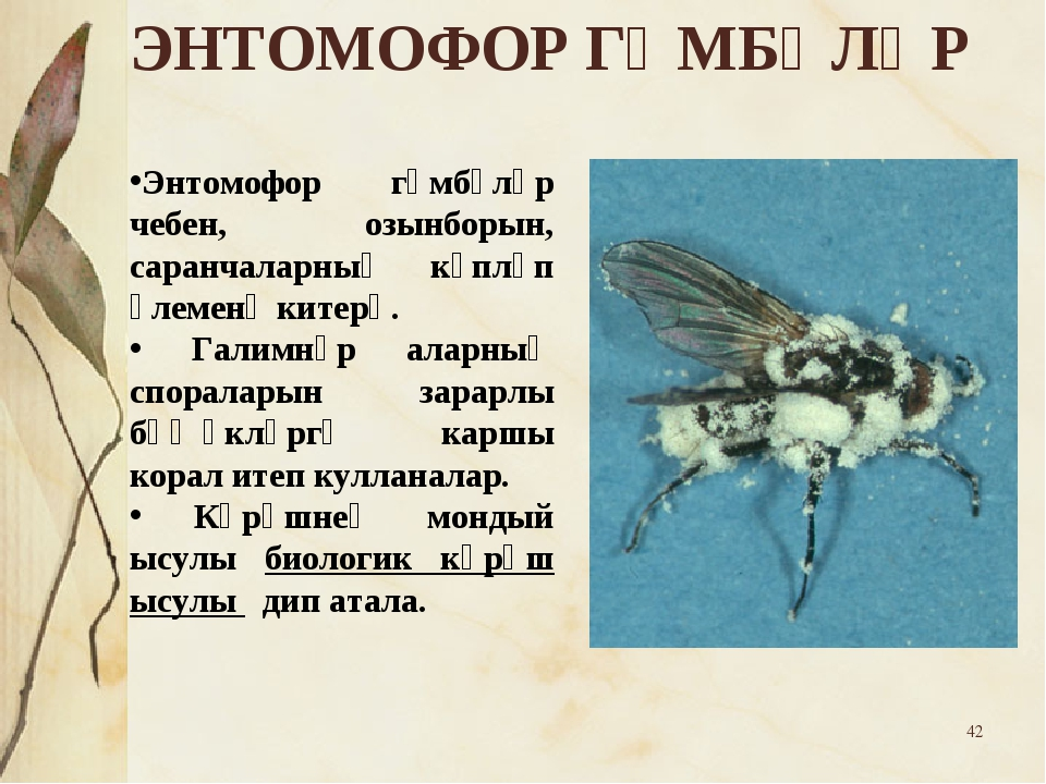 * Энтомофор гөмбәләр чебен, озынборын, саранчаларның күпләп үлеменә китерә. Г...