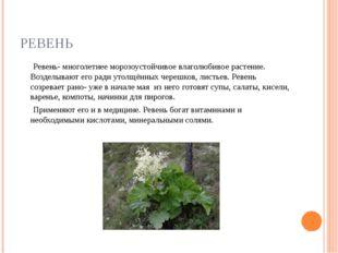 РЕВЕНЬ Ревень- многолетнее морозоустойчивое влаголюбивое растение. Возделываю