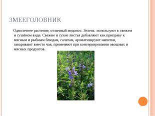 ЗМЕЕГОЛОВНИК Однолетнее растение, отличный медонос. Зелень используют в свеже