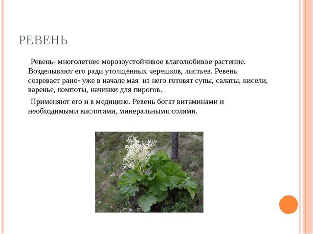 РЕВЕНЬ Ревень- многолетнее морозоустойчивое влаголюбивое растение. Возделываю...