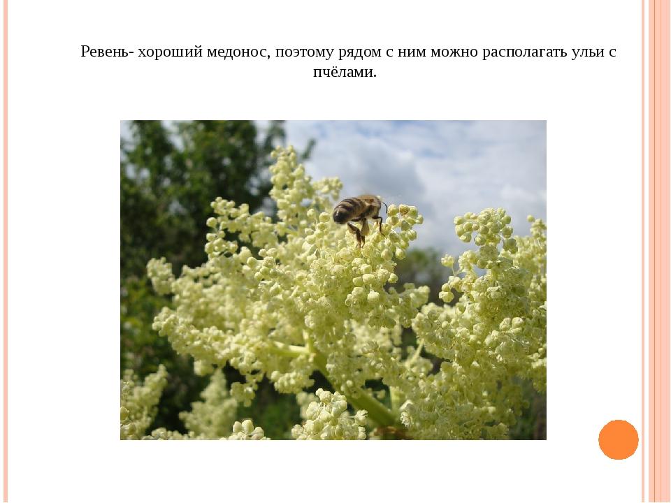 Ревень- хороший медонос, поэтому рядом с ним можно располагать ульи с пчёлами.