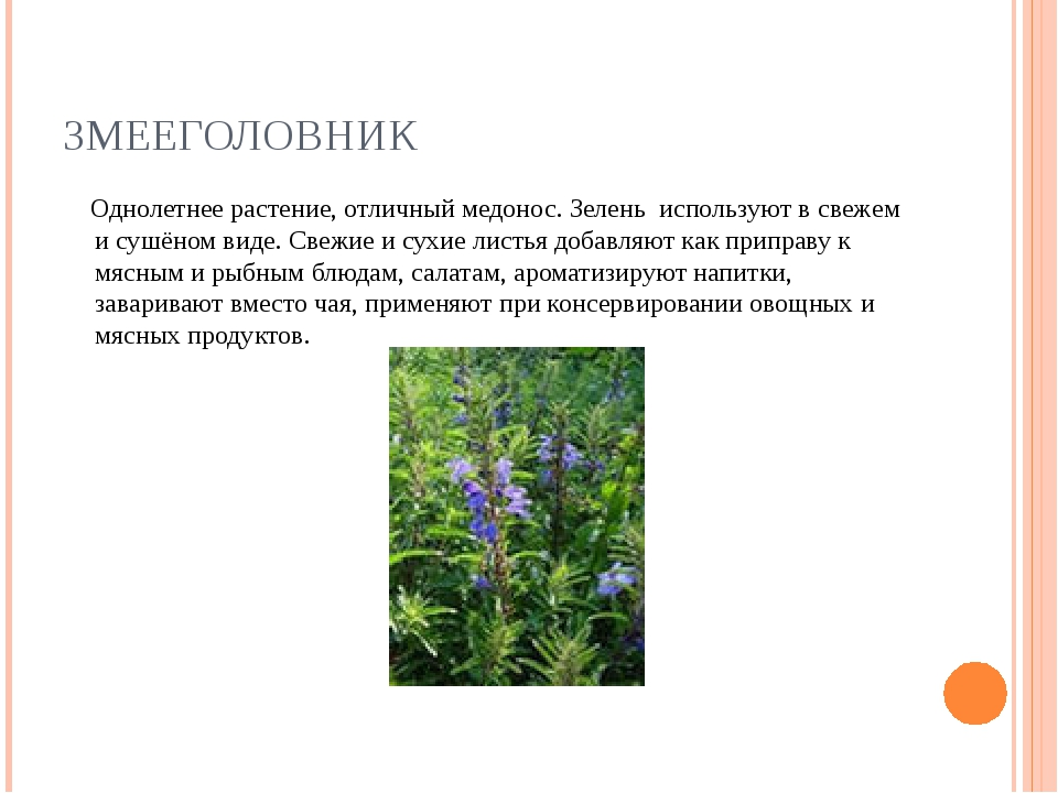 ЗМЕЕГОЛОВНИК Однолетнее растение, отличный медонос. Зелень используют в свеже...